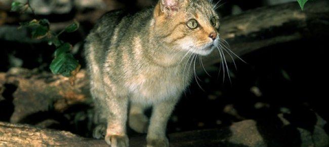 Laregione Ginevra Torna Il Gatto Selvatico