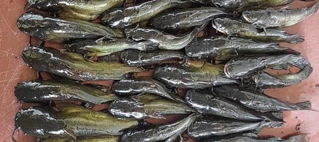 Non Dire Gatto Se Il Nuovo Incubo Dei Pescatori Laregione