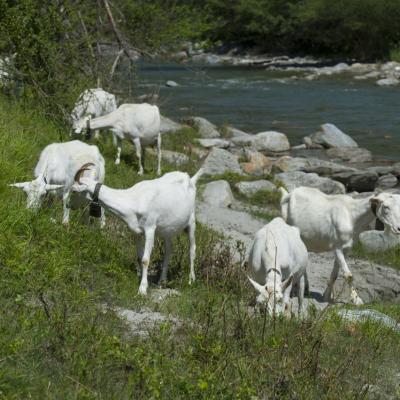inflamația articulară la capre)