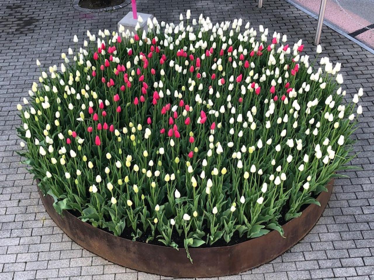 Come Si Piantano I Tulipani i tulipani della speranza fioriscono anche a origlio - laregione